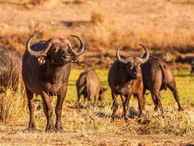 Herd of wild African cape buffalo