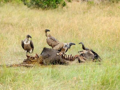 Vulture feeding on a kill. Masai Mara National Park, Kenya
